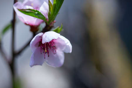 Macro detail of a peach blossom that has blossomed in spring Imagens