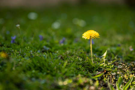 Dandelion flower surrounded by green grass at spring 免版税图像