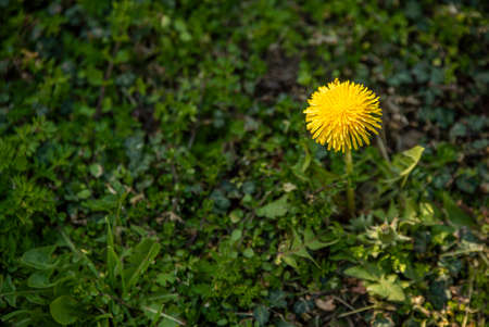 Dandelion flower surrounded by green grass at spring Imagens