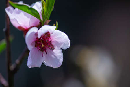 Macro detail of a peach blossom that has blossomed in spring 免版税图像