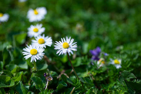 Daisy flower surrounded by green grass at spring