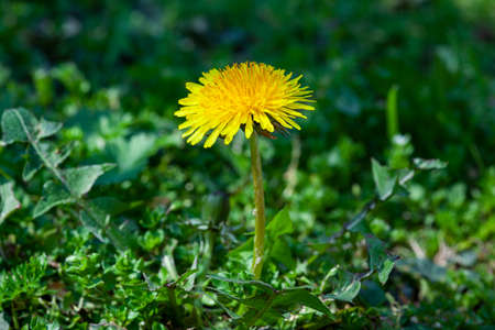 Taraxacum flower surrounded by green grass at spring 免版税图像