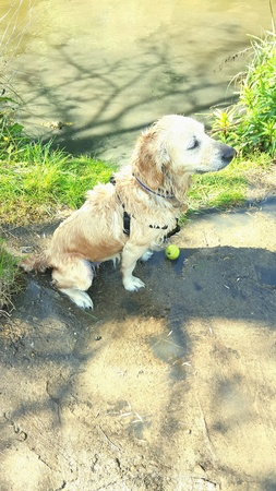 Wet Golden retriever after a river swim