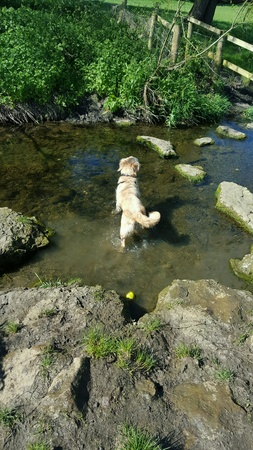 Wet Golden retriever playing in water
