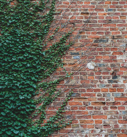 Vines climb up a brick wall and offer an interesting half way pattern
