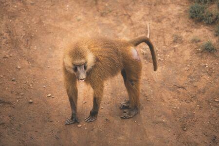 Lone adult Guinea Baboon walks across dusty muddy ground