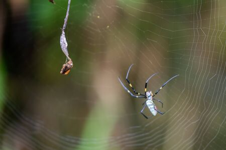 A Nephila spider next to some pray that has been tied up ready to eat, found in Vietnam