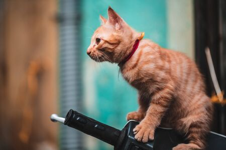 A very cute ginger kitten sits on the handlebars of a scooter in the streets of Vietnam as tourists pass by and stroke it