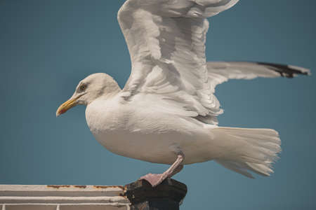 A seagull gets ready to take flight at Brighton Pier, UK - June 2020
