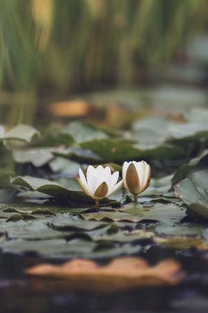 White pond lily in a calm beautiful pond surrounded by lily pad. Perfect place to relax and unwind harmoniously 免版税图像