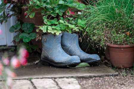 Flowers growing out of recycled old blue wellies at the back of a garden on a bright sunny day