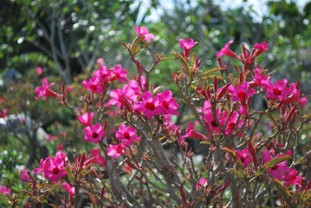 rose of the desert: Rosa rosa del deserto
