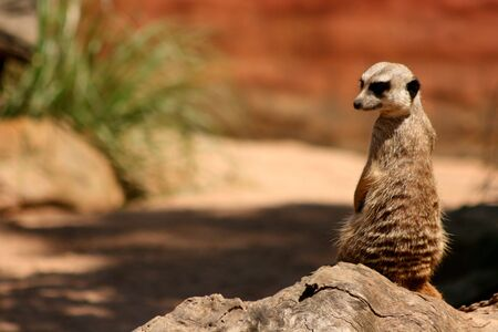 A Meerkat watching over its  photo