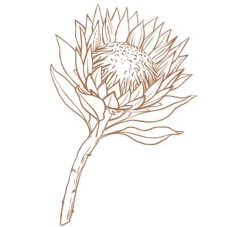Protea flower. Line drawing on white background.