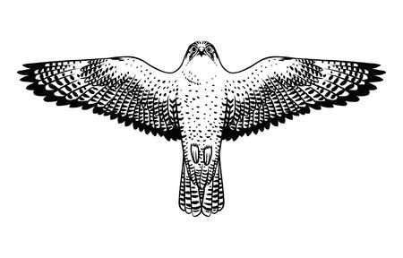 Falco pellegrino in volo. Illustrazione disegnata a mano di vettore