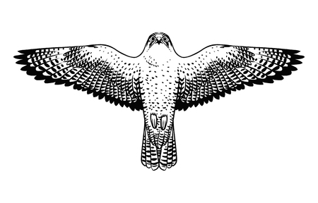 Soaring peregrine falcon. Vector hand drawn illustration