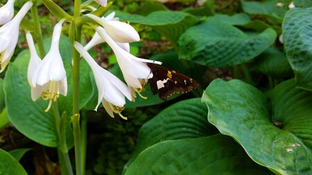 Black Yellow Swallowtail Butterfly on White Flowers with Leaves in Background