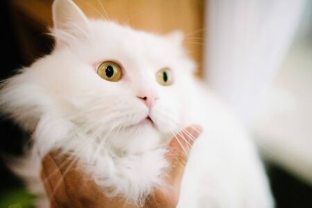 A man strokes the hand of a white fluffy cat close up. Care for pets. The owner strokes his pet.