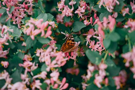 the orange butterfly sits on a flower. The butterfly pollinates a flower. The butterfly sits on a flower.