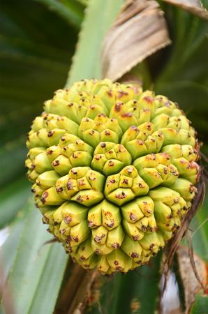 pandanus tree: Pandanus tectorius or Screw Pine Stock Photo