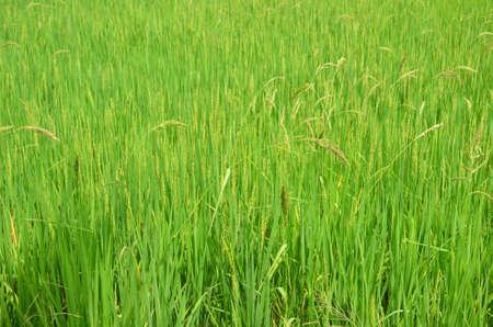 feild: rice field or farm or paddy rice.
