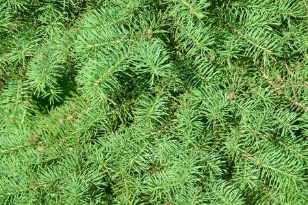 pine branches: Fir-tree