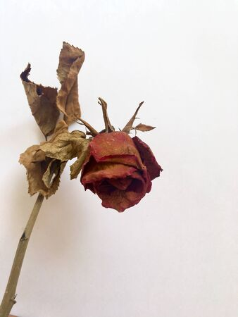 the rose which wither still noisy the beauty always