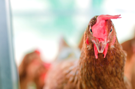Close up Chicken or Hen are Cut or trim the upper lip in intensive farm, Animal welfare concept, selective focus