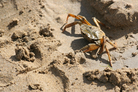 arthropods: Crab crawling on the beach in Lignano, Italy