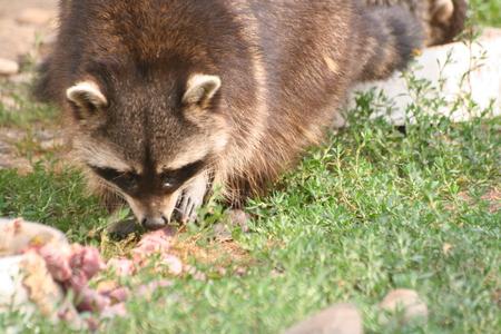racoon: Feeding racoon Stock Photo