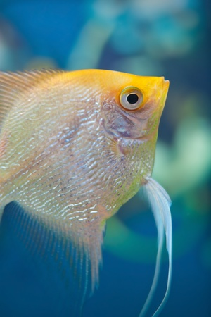 Angelfish (Pterophyllum scalare) in the fish tank Stock Photo - 12449997