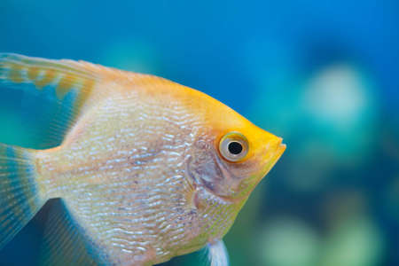 Angelfish (Pterophyllum scalare) in the fish tank Stock Photo - 12449996