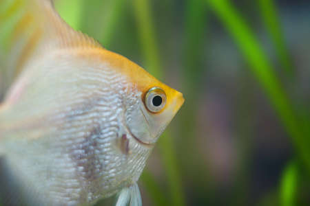 Angelfish (Pterophyllum scalare) in the fish tank photo
