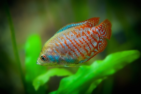 Aquarian small multicolor fishes  Colisa lalia  lalius  photo