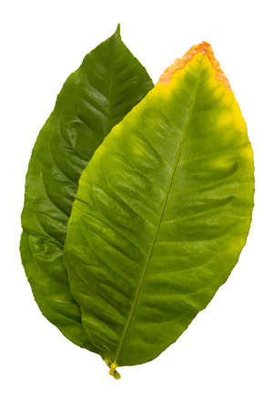tip of the leaf: Lemon Leaf, Salal  Gaultheria shallon  isolated on white