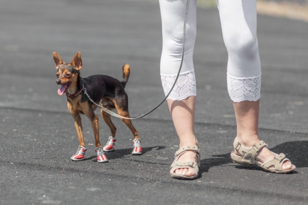 Closeup of a lady s legs wearing sandals with her Chihuahua doggy  photo