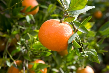 branch orange tree fruits green leaves Stock Photo