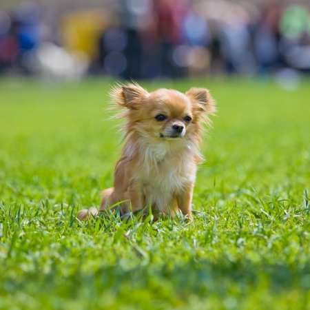 Chihuahua sits on a green grass photo
