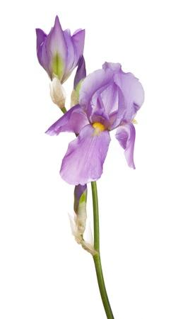 perianth: Iris flower Stock Photo