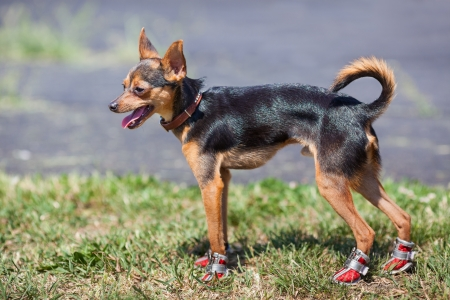 The chihuahua in sneakers  on a green grass photo