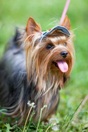 Portrait of a Yorkshire terrier in a cap close up Stock Photo - 17348755