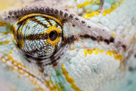 veiled: veiled chameleon is staring at the camera (Chamaeleo calyptratus)