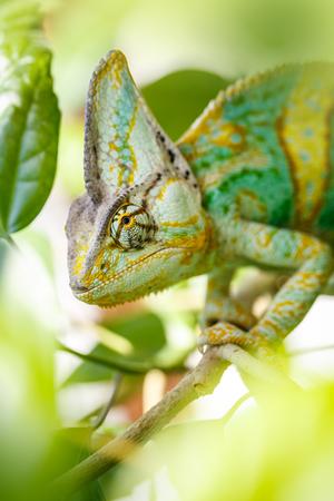 rear end: Yemen chameleon