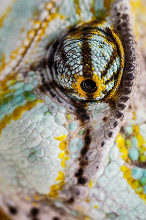 veiled chameleon is staring at the camera (Chamaeleo calyptratus)