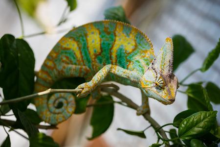 yemen: Yemen chameleon