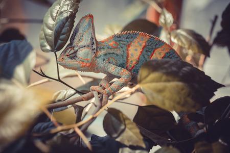 stereoscopic: Yemen chameleon