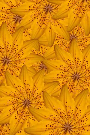 orange lily: Orange lily background Stock Photo