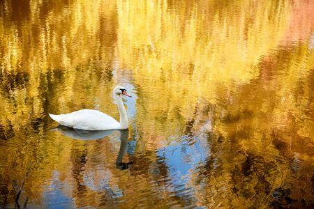autmn: Swan on the autmn river at sunrise