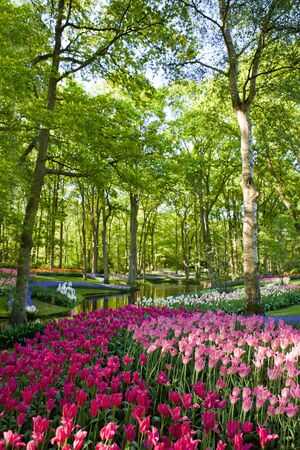 blue tulip: Colorful blooming tulips in Keukenhof park in Holland Stock Photo
