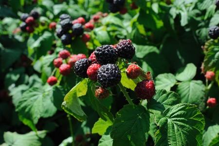 brambleberry: frambuesa